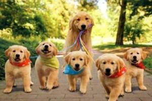 dog_walking_pups